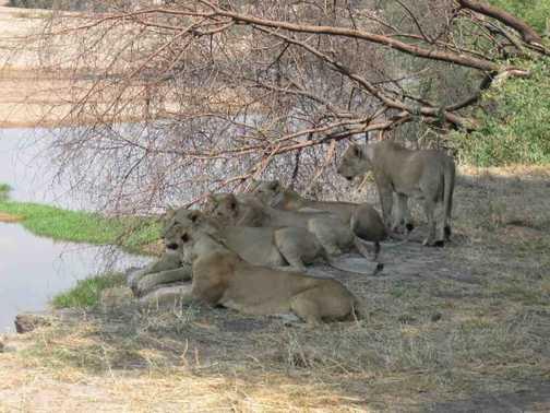 Lions at Ruaha National Park