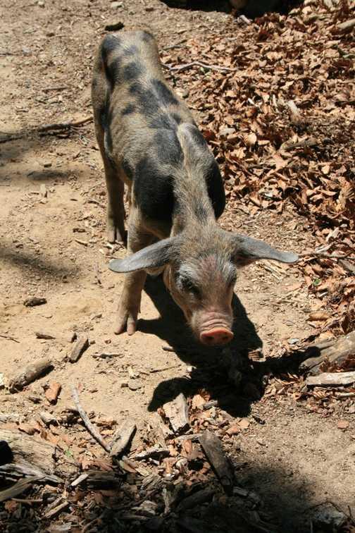 The ubiquitous porker