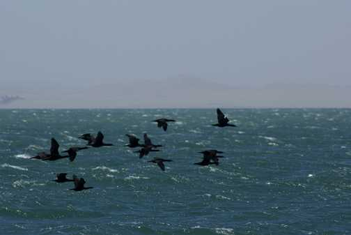 Cape Cormorants
