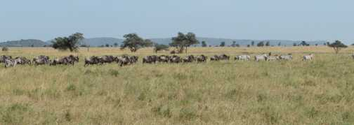 serengeti .... the magnificent mass migration
