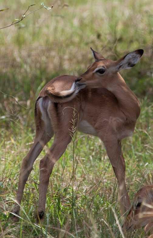 baby gazelle 1