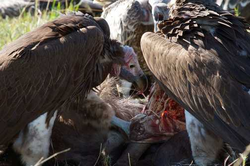 Vultures on a Wildebeest carcass