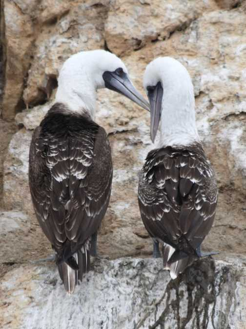 Peruvian Booby birds