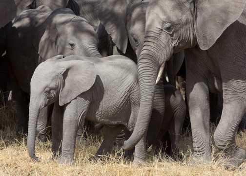 Protecting the cub - Elephants in Masai Mara