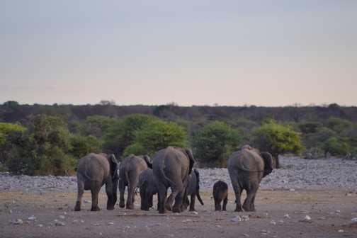 Departing elephants
