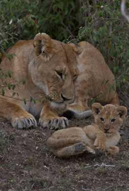 Marsh lions