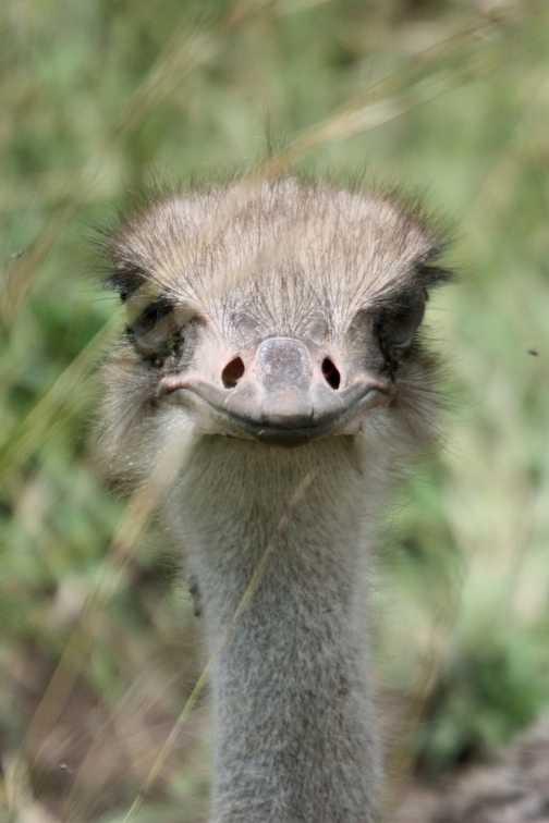 Female ostrich - Masai Mara