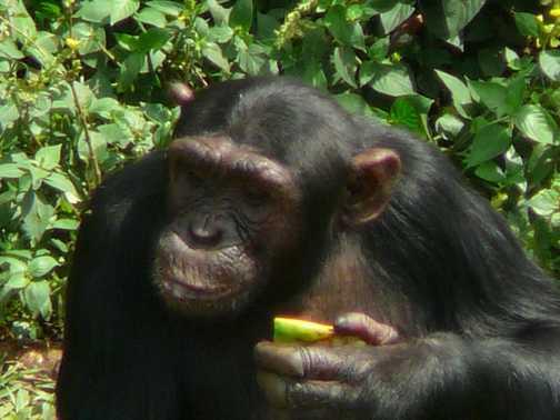 Feeding time, Ngama chimp sanctuary, lake Victoria, Uganda