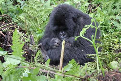 Gorilla mum with a 2-day old baby