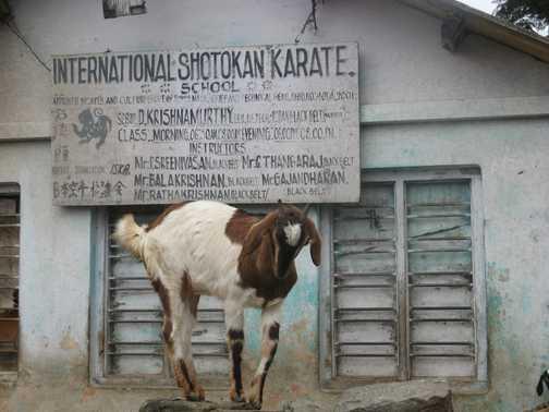 A karate goat, Ooty