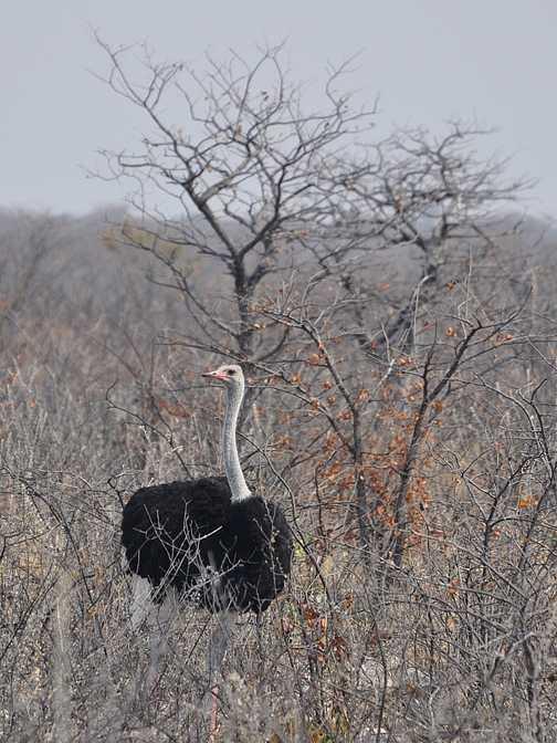 Ostrich, Etosha NP