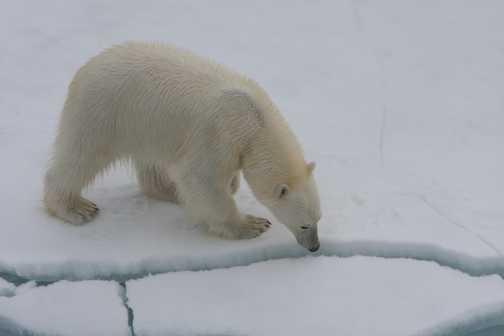 Polar Bear looking down crack in ice