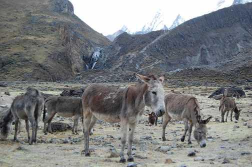 Cold donkeys at dawn