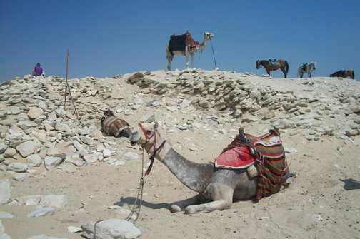Saqqara Camel
