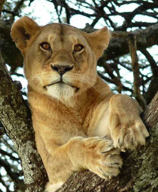 Lion in tree