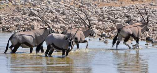 Oryx at Okaukuejo, Etosha NP
