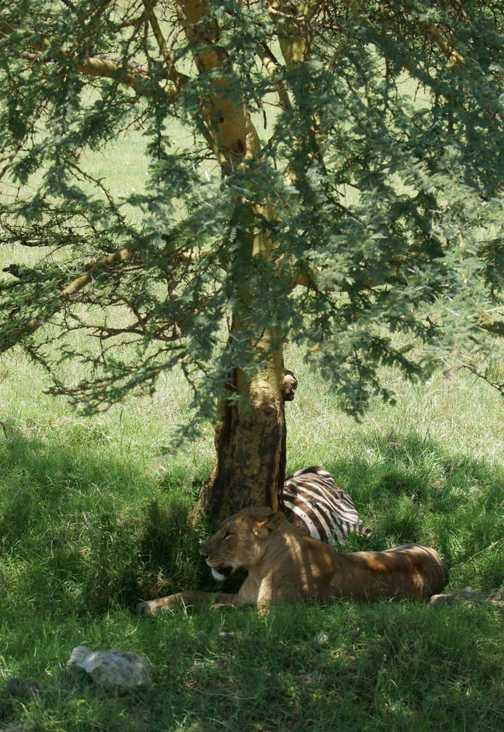 Juvenile lion taking it easy after a kill, Lake Nakuru, Kenya