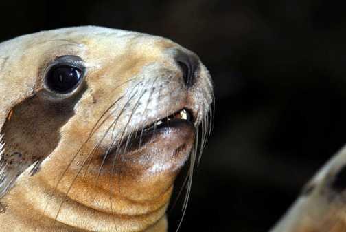 AUkland Isle : NZ Fur Seal