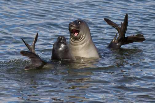 Elephant Seals at grytviken