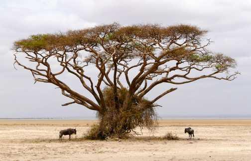 Acacia Tree - Amboseli