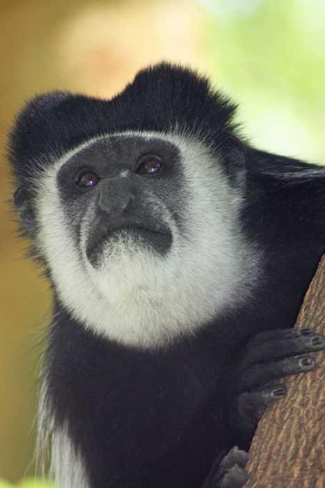 Columbus Monkey