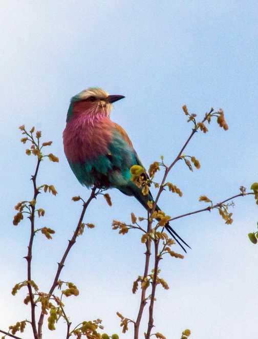 Lilac-Breasted Roller - Kruger NP