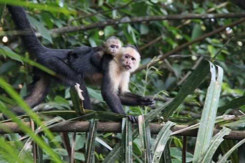 white faced capuchin monkeys in Tortuguero NP