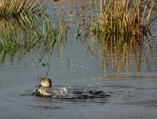 Duck shaking