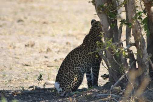 Leopard again