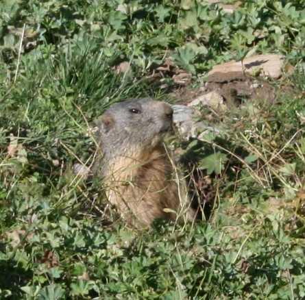 A watchful marmot