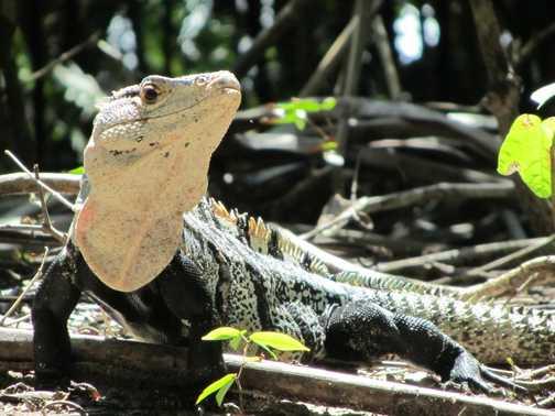 Big Lizard - Manuel Antonio