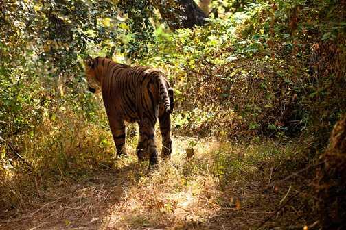 The tiger disappears into undergrowth to snooze in the shade for the rest of the day