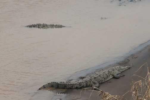 crocodile central