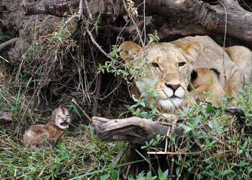 Lion cub, Still only a day old.