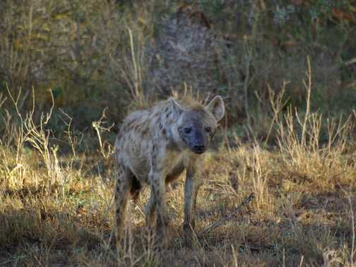 Hyena, Nakuru National Park, Kenya