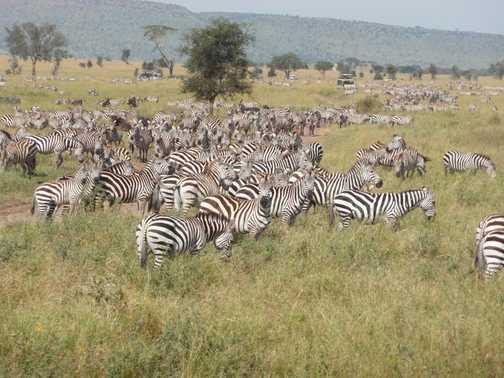 Serengeti ..... zebra crossing?!!