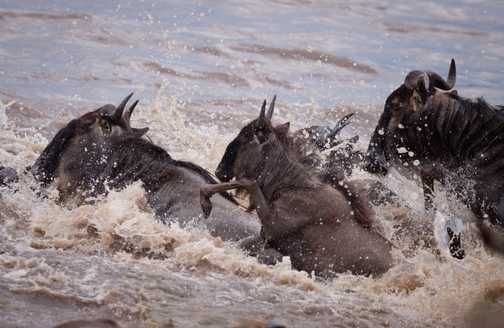 Jumping wildebeests