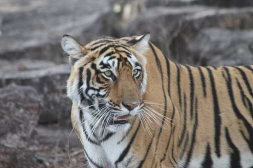 Tiger at Ranthambore