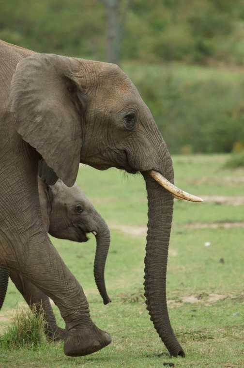 Mother elephant and calf on the move in the Masai Mara.