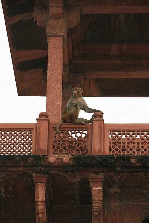 Monkey at Red Fort, Agra