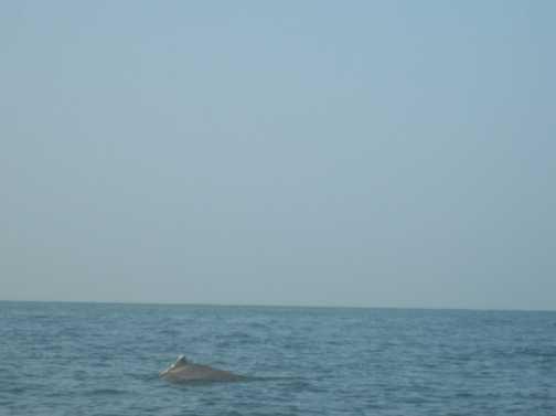Dolphin at Palolem Beach