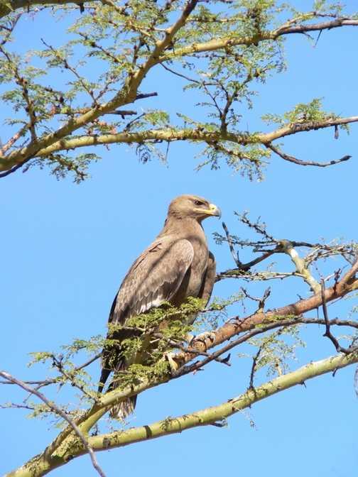Tawney Eagle Nakuru