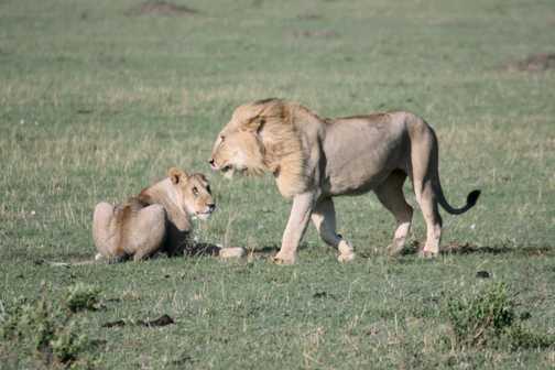 Lions - Masai Mara