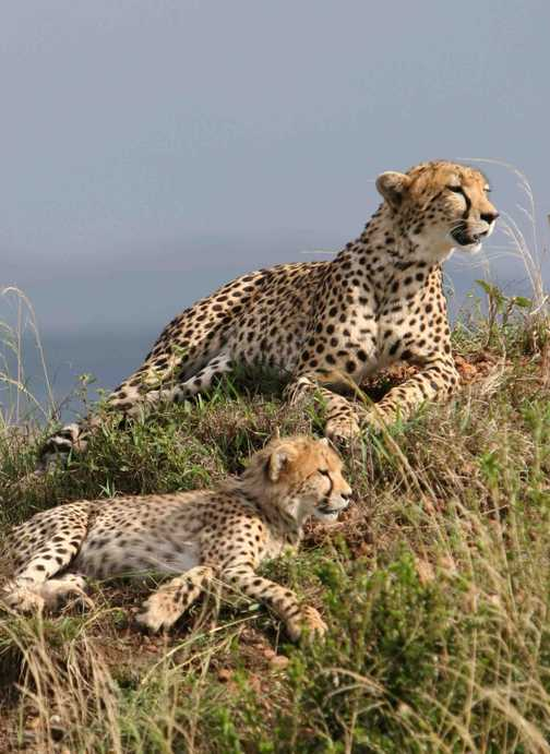 Mother & Cub, Masai Mara.