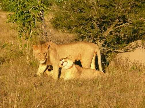 Lion Pair at Lalibela