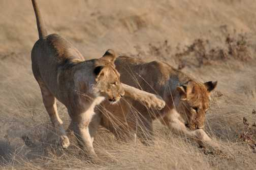 Playful Lions in Etosha NP