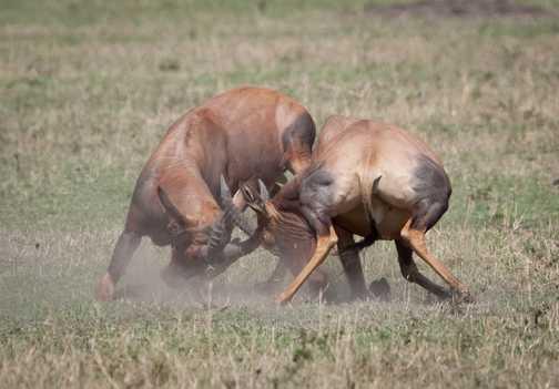 Topis fighting