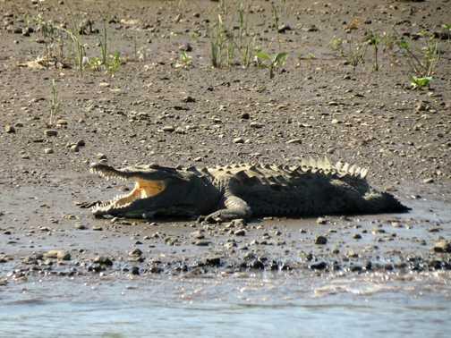 Crocodile - Rio Tarcoles