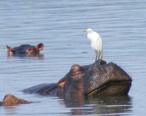 Egret hitchiking in Murchison Falls NP