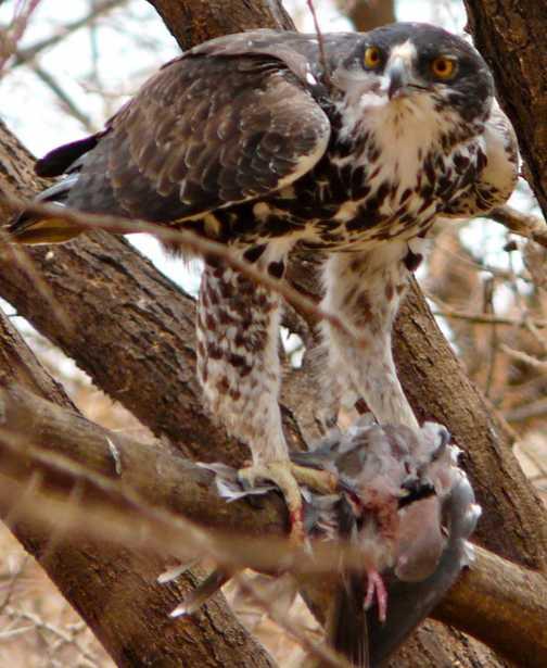 Juvenile Martial Eagle with lunch - Lake Manyara